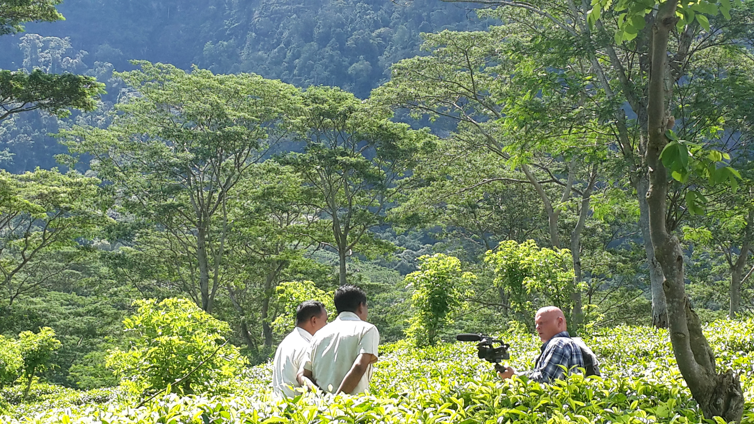 Tea with rubber trees as a backdrop (   Photo by Evadora Depari)