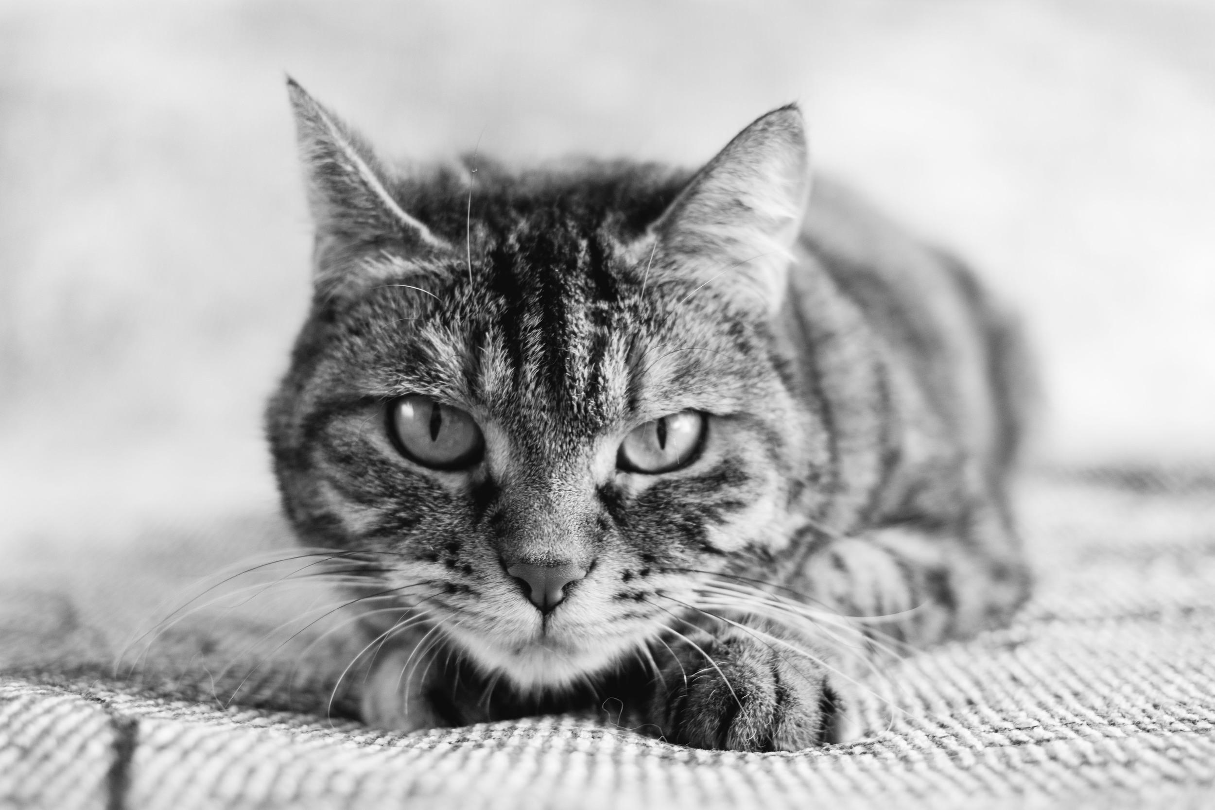 Gatto ritratti bianco nero fotografo torino Laura Griffiihs Fotografia