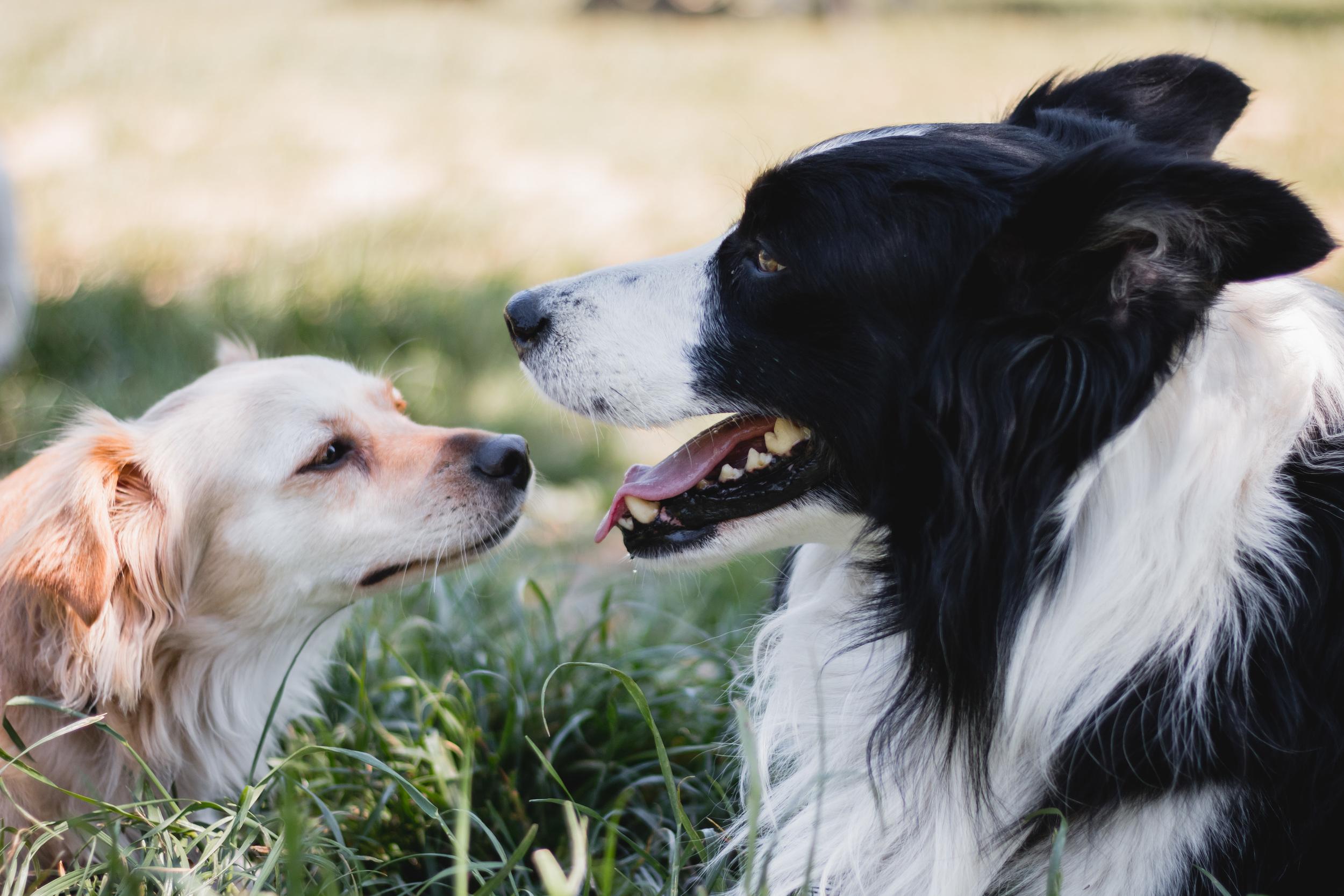 Cani ritratti cane border collie parco torino fotografo laura griffiths fotografia