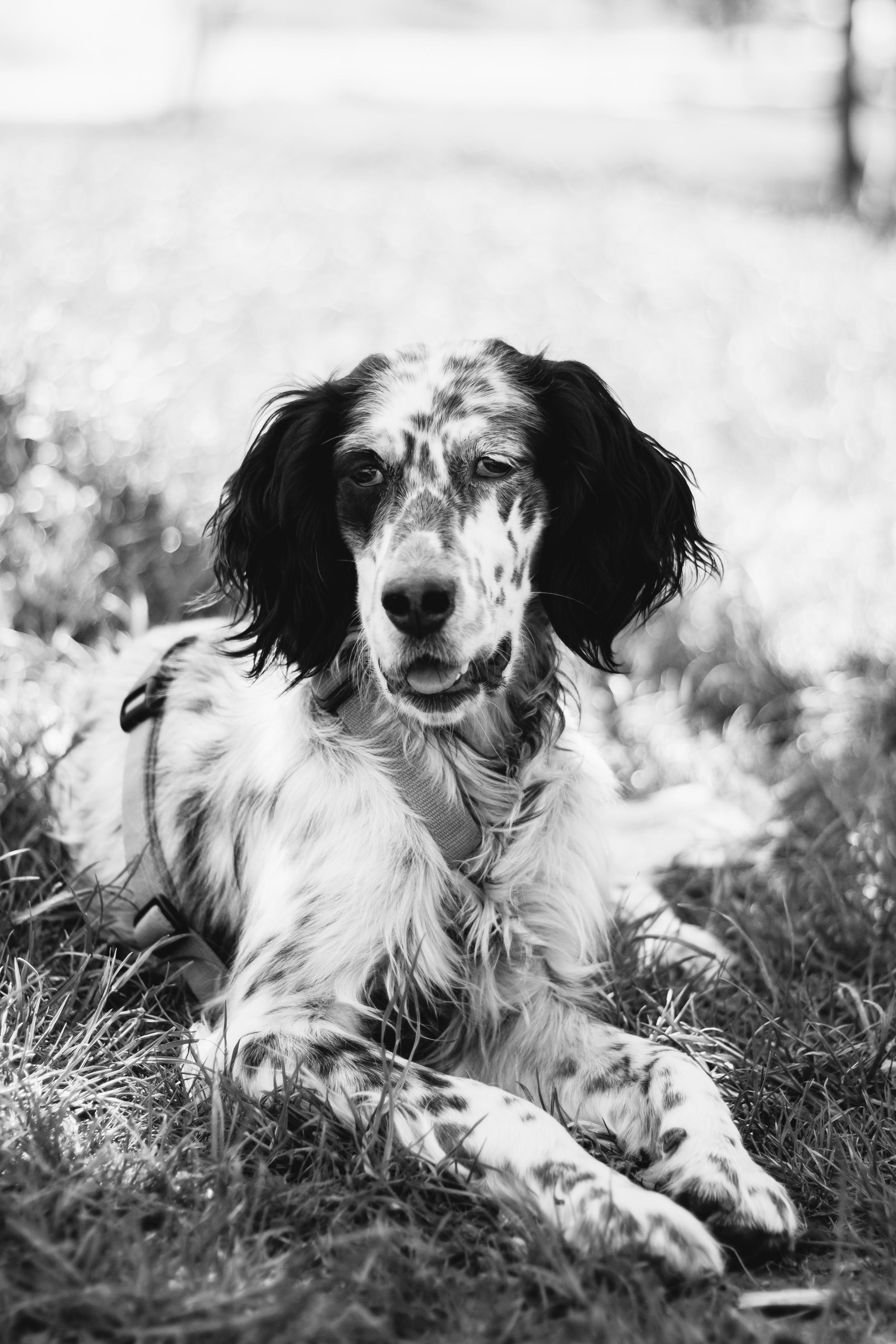 Cani ritratti cane english setter parco torino fotografo laura griffiths fotografia