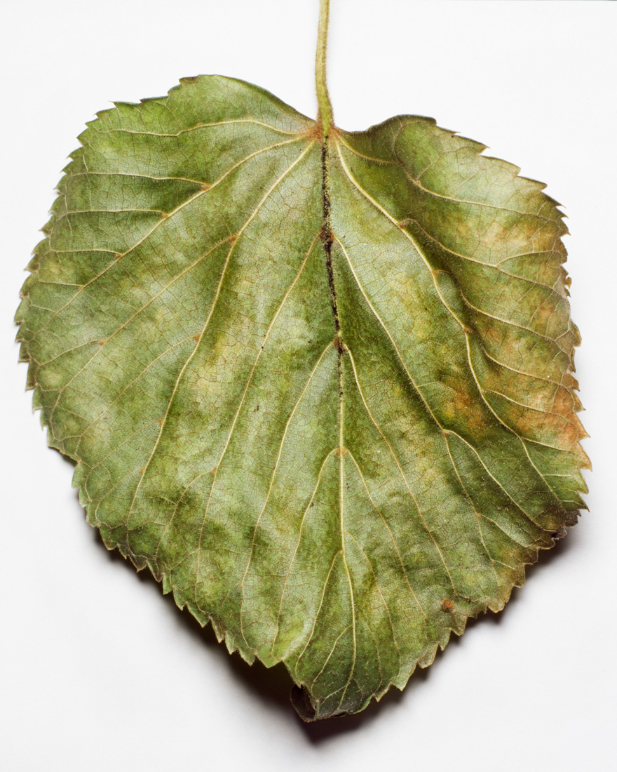 Leaves of Central Park