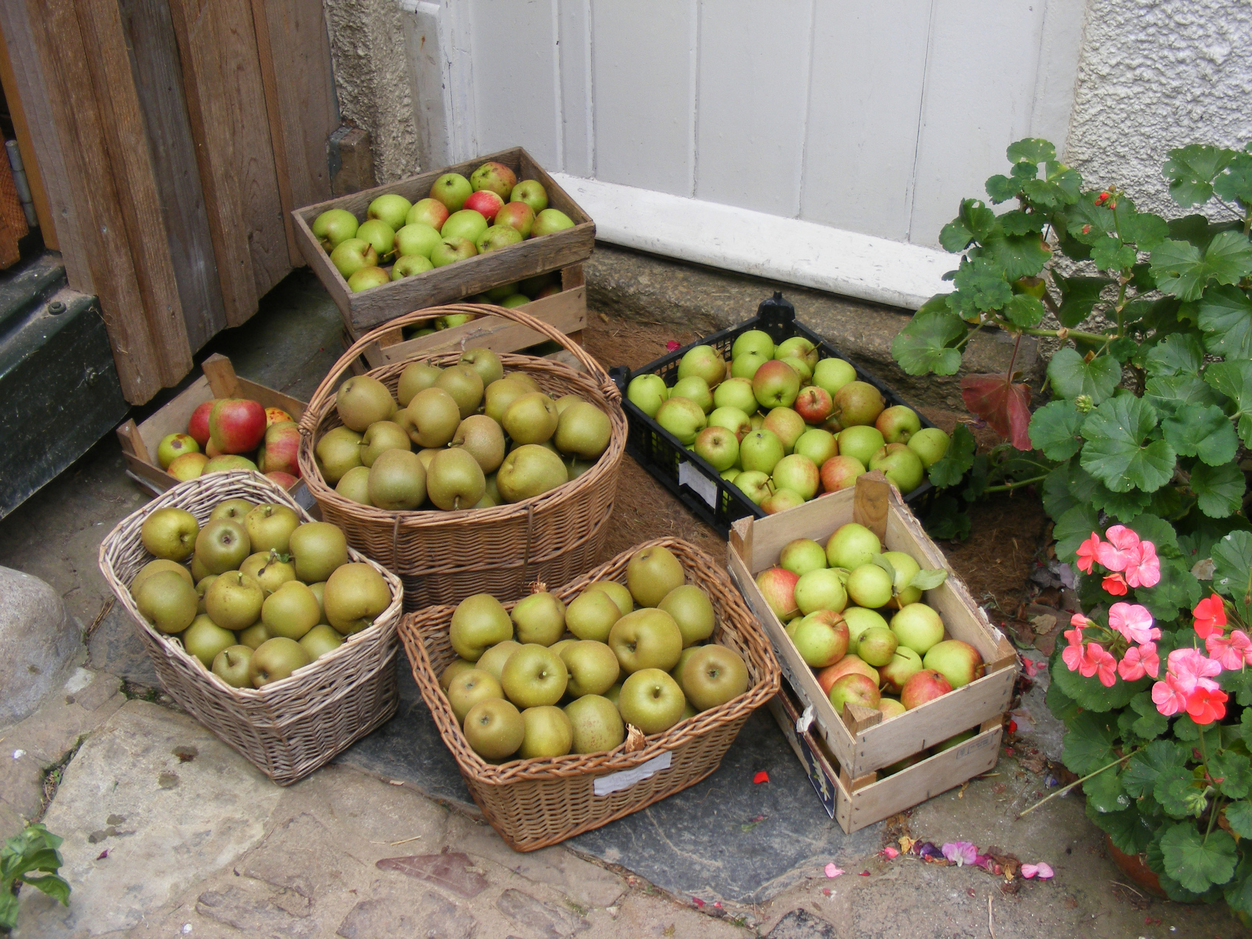 just some of the apple harvest.jpg