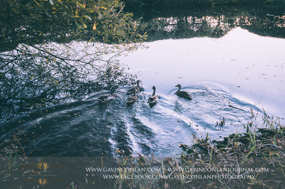 the ducks enjoying themselves in the pond at Crabbs Barn. Wedding photography at  Crabbs Barn  by  gavin conlan photography Ltd