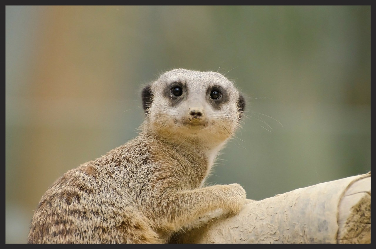 Meerkat Marketing fad