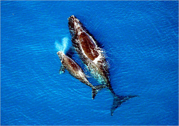 Right Whale_NOAA.jpg