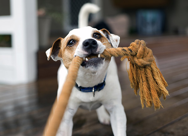 Fox-Terrier-tugging-the-rope-playing-941412812_3807x2622.jpg