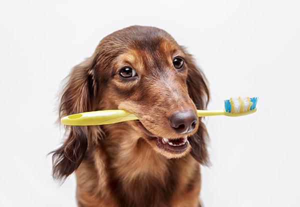 Dachshund-dog-with-a-toothbrush-512751324_5575x3722.jpg