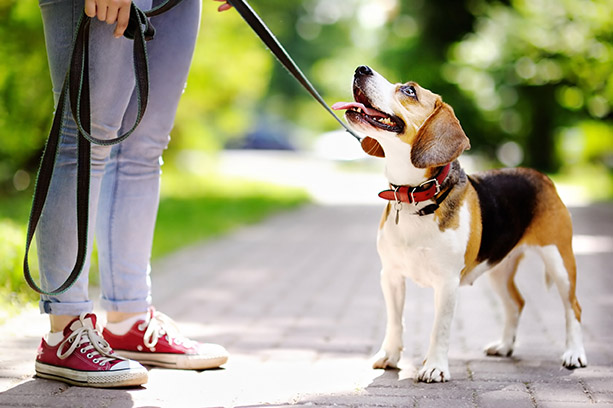 Obedient-Beagle-dog-with-his-owner-658125936_2556x1700.jpg