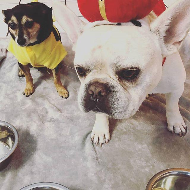 Birthday boy, Flex and his BFF  #birthdayboy #doggydaycare #wishbonepetcare #frenchie #MissouriCityTX