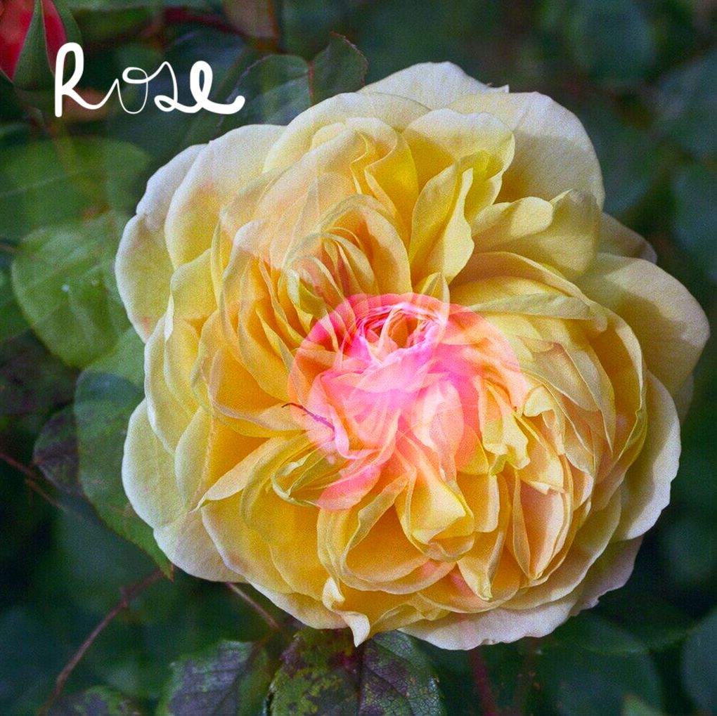 Rose Meditation - for Self Love and anchoring into the heart, the core of all our healing.Find a soft fragrant wild rose in bloom, sip rosebud tea, and dive into this healing meditation to turn your energy inward to your healing power, your heart.