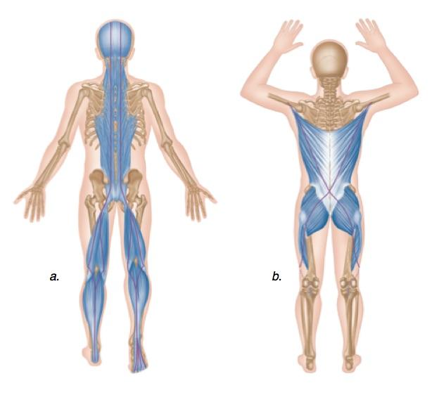 posterior chain.jpg