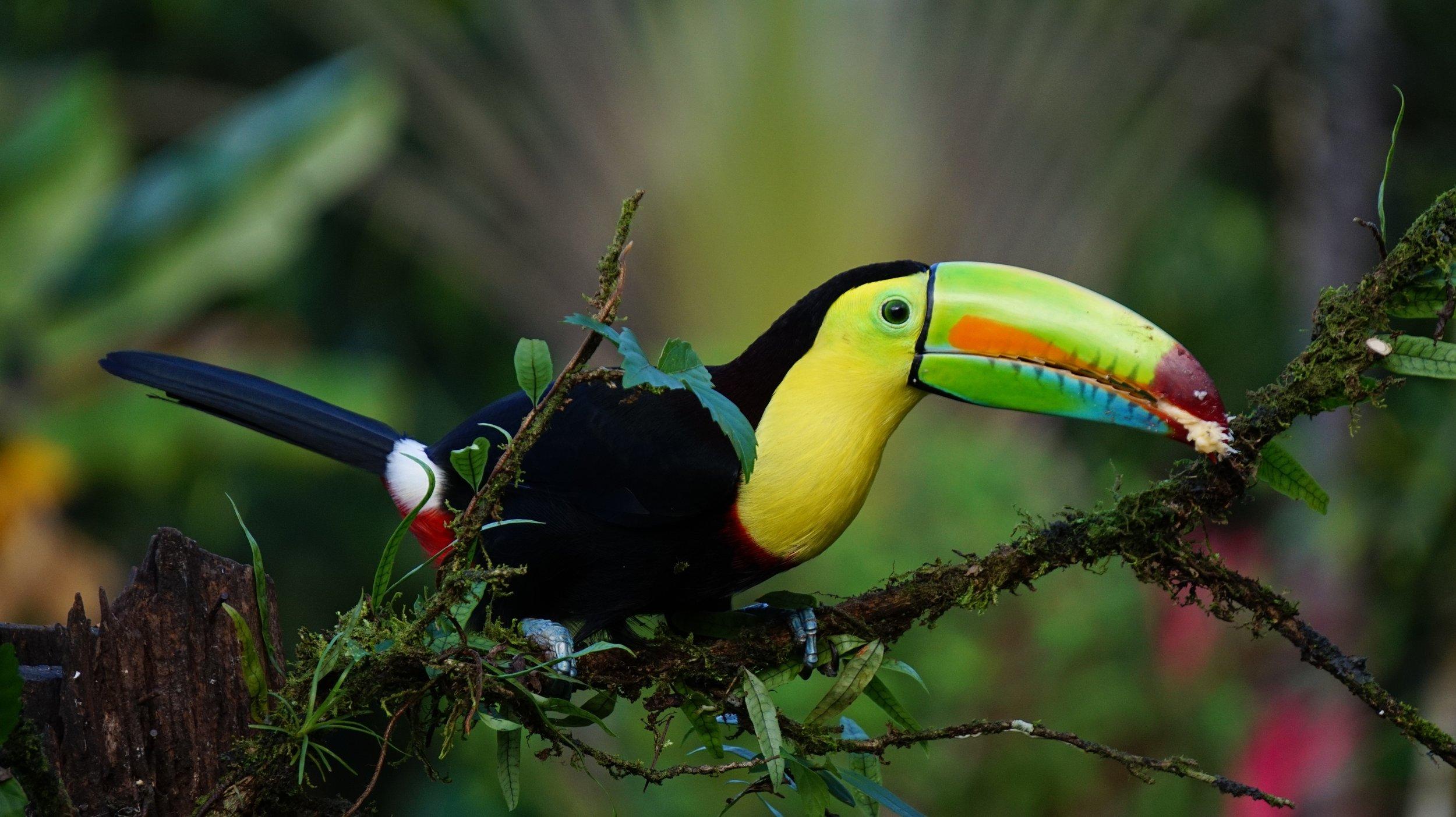 keel-billed-toucan-1021048.jpg