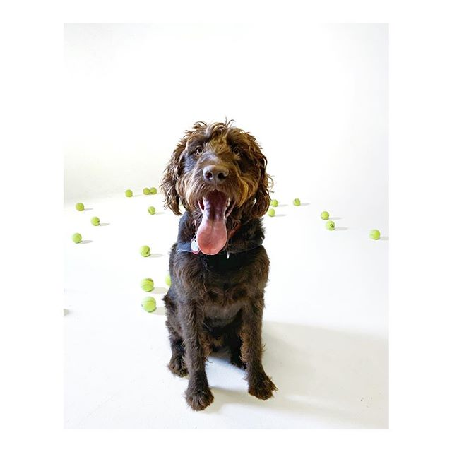 Oliver was just about the happiest dog ever with all of the tennis balls that @guhnat and @markandrus tossed him while he was on @themoongr
