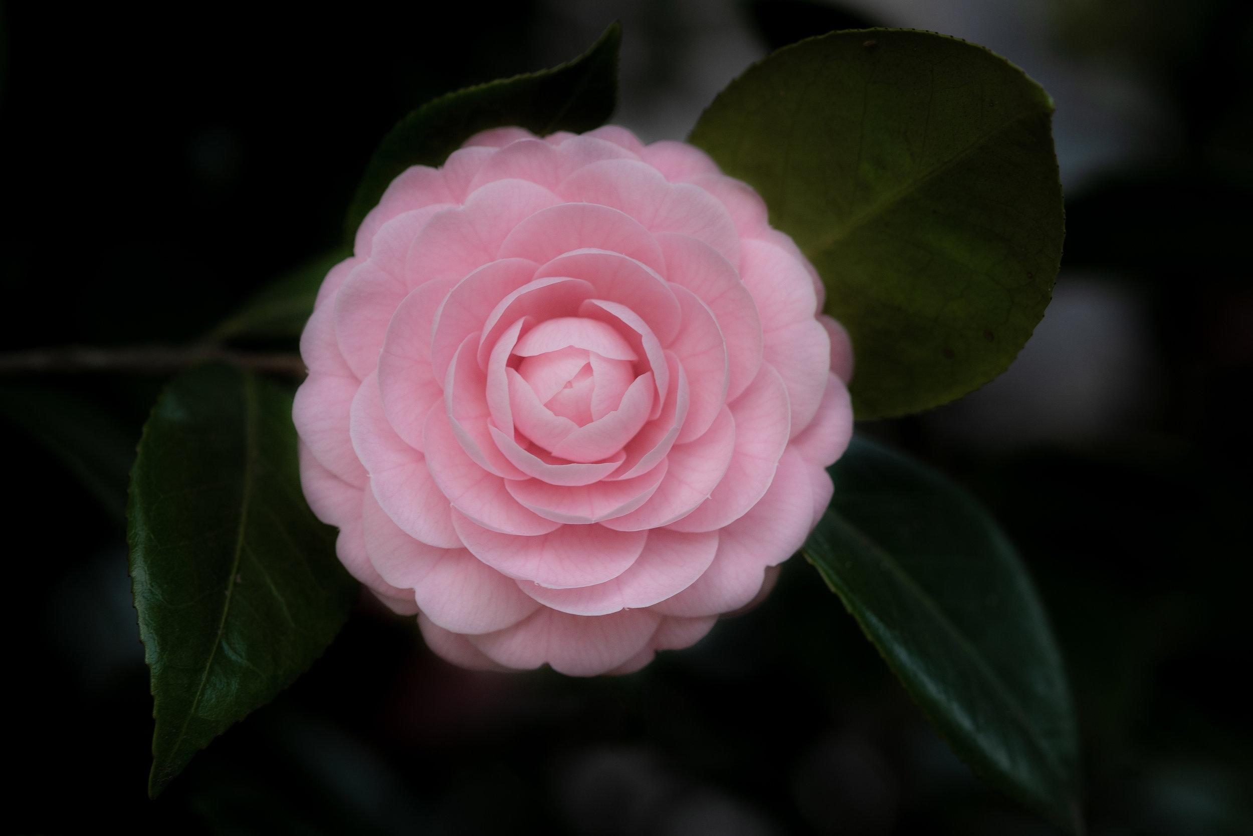 Camellia japonica /Tsubaki