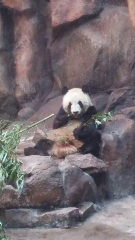 Lunch time for the pandas at the Beijing zoo.