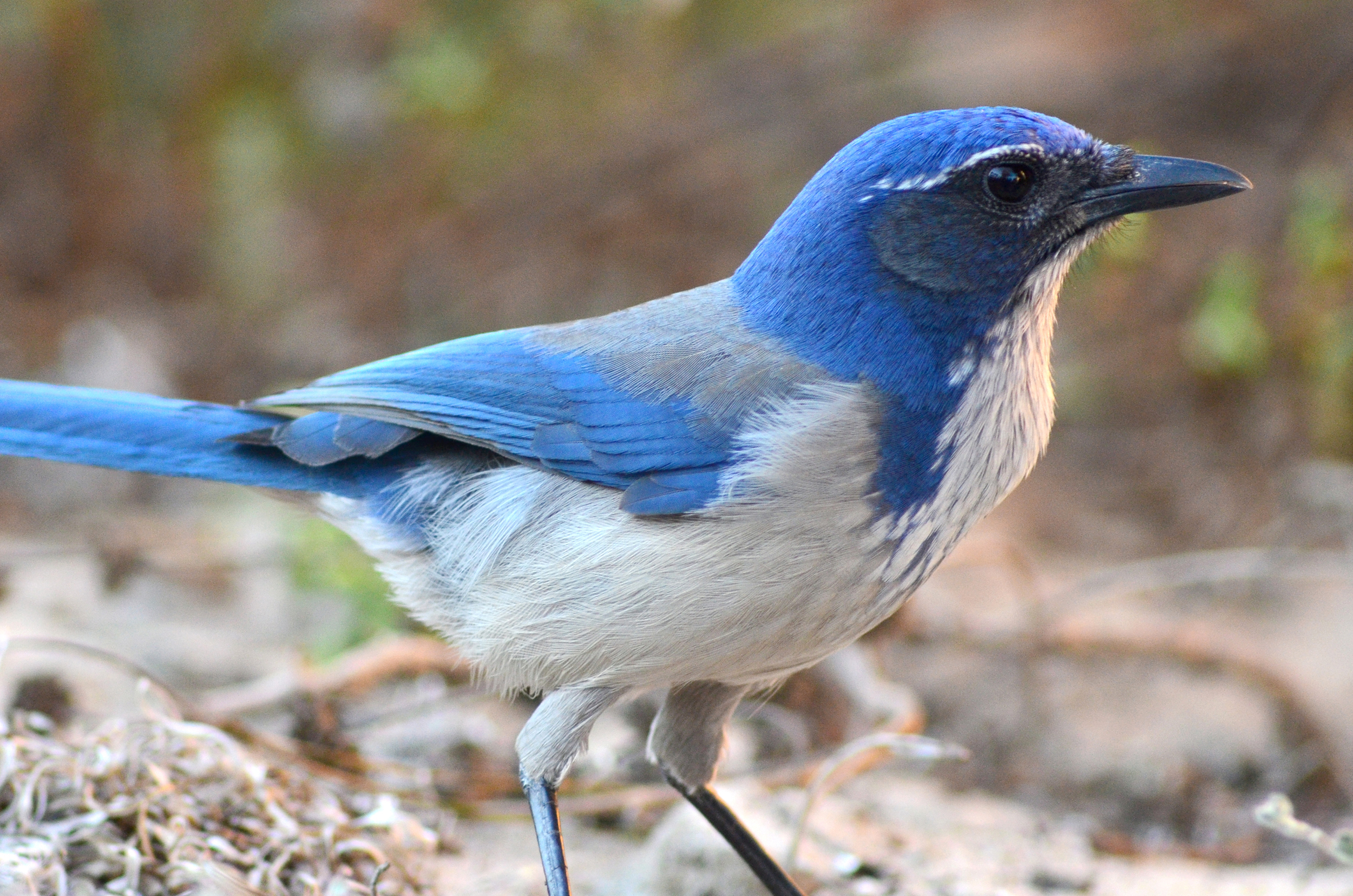 Western Scrub-Jays are among the most intelligent and charismatic members of our avifauna
