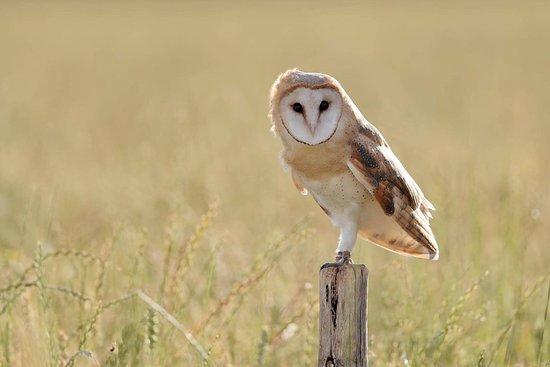 dawn-the-barn-owl-at.jpg