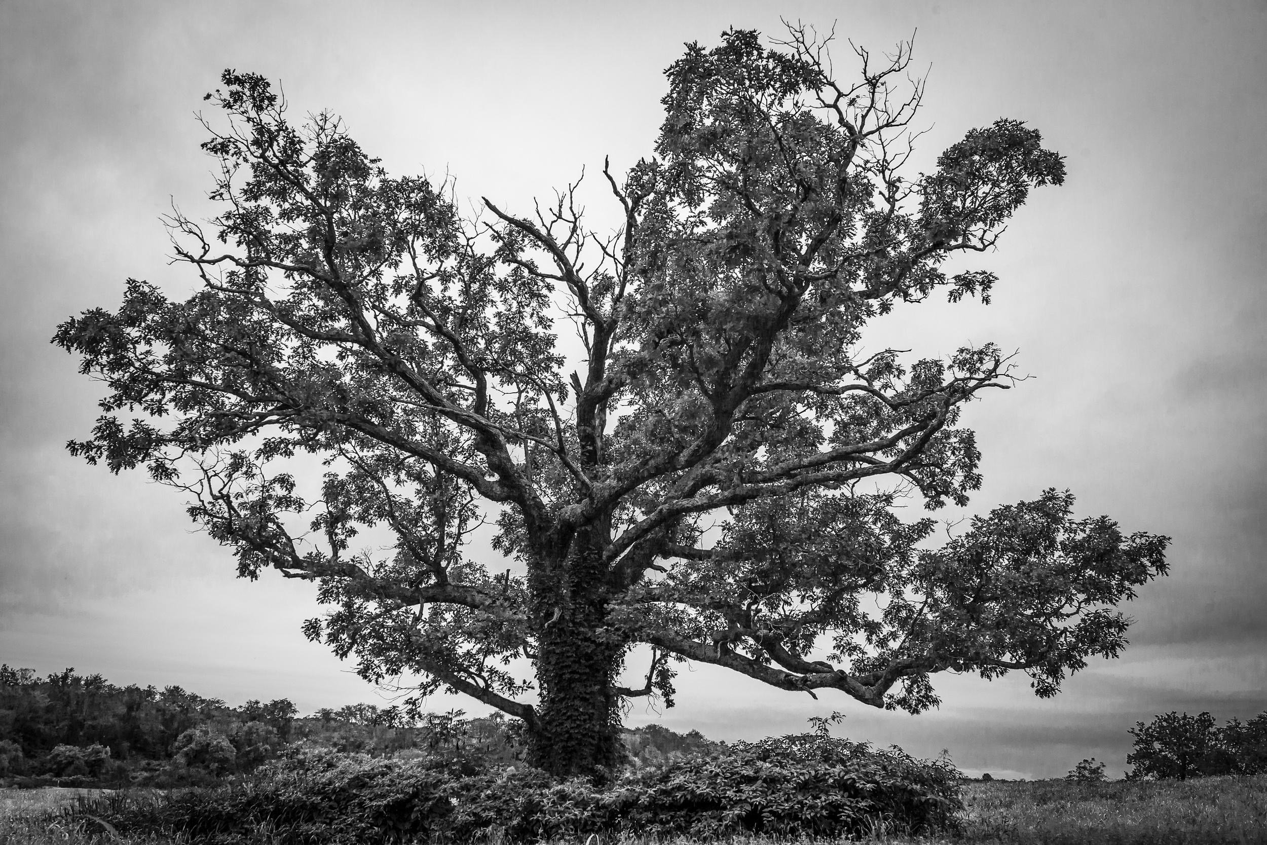 """""""Merry Oak"""" as seen facing west."""