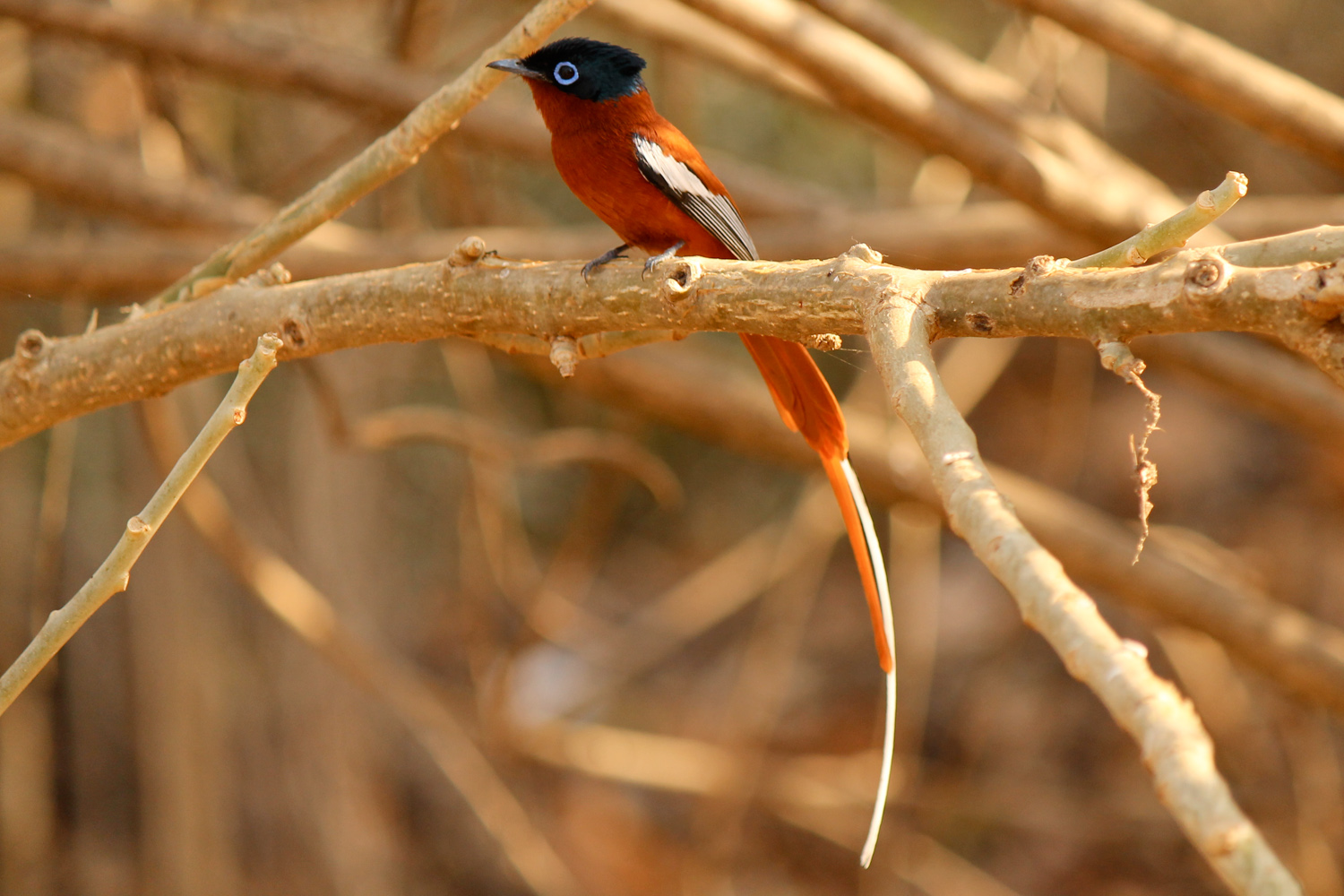 Madagascar paradise flycatcher in the Kirindy Forest.