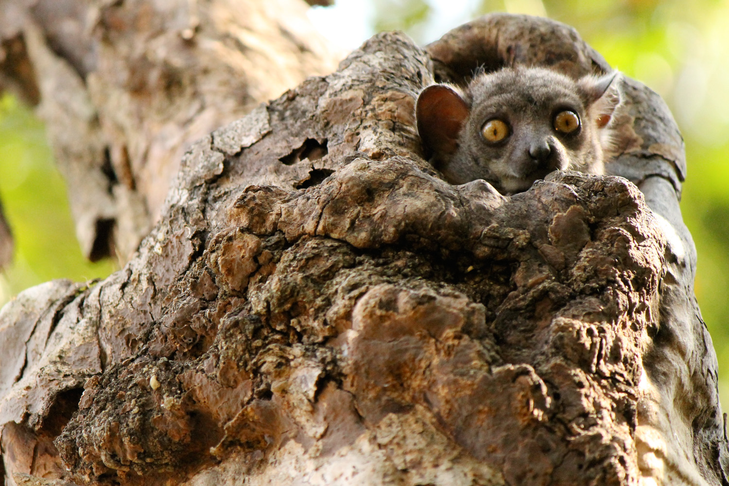 A nocturnal red-tailed sportive lemur waking up in Tsingy de Bemaraha National Park.