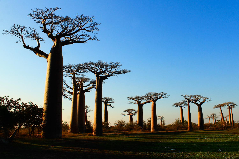 Avenue of the Baobabs near Morondava.