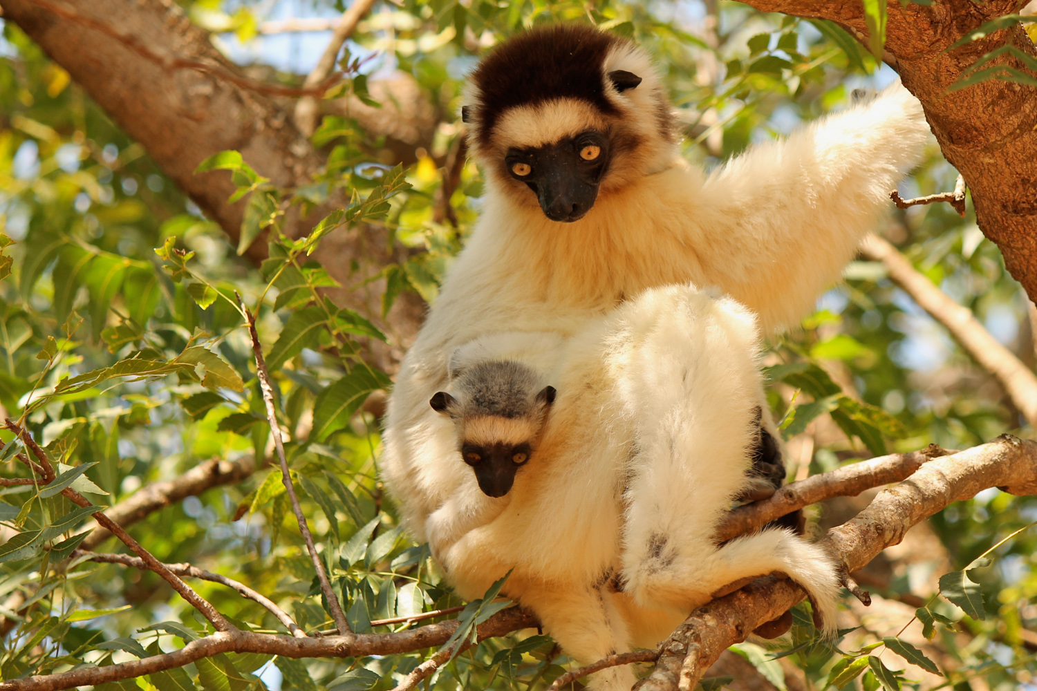 Verreaux's sifaka with baby in the Berenty Reserve.
