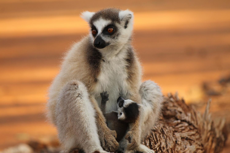 Ring-tailed lemurs in Berenty Reserve.
