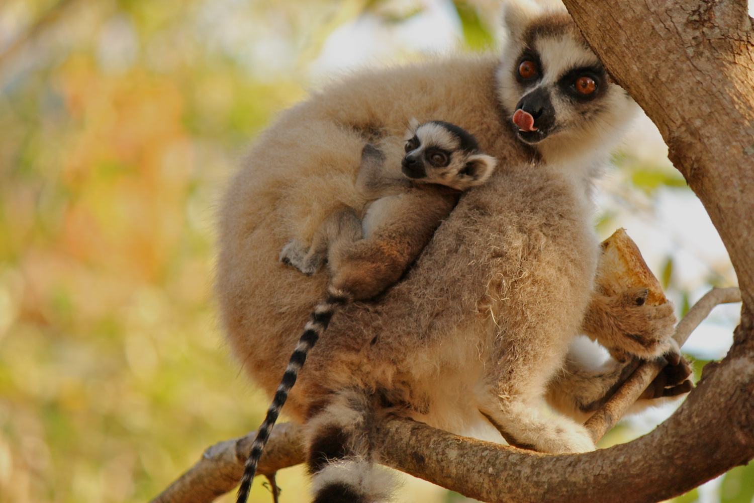 Ring-tailed lemur with the first baby of the season born four days earlier in Berenty Reserve.