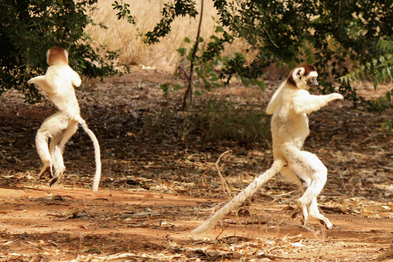 Verreaux's sifakas dancing around in Berenty Reserve.