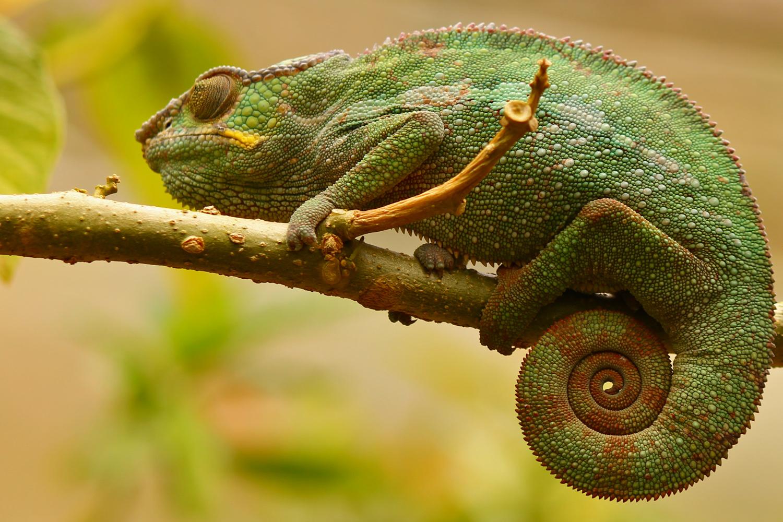 Chameleon in Peyrieras Reserve.