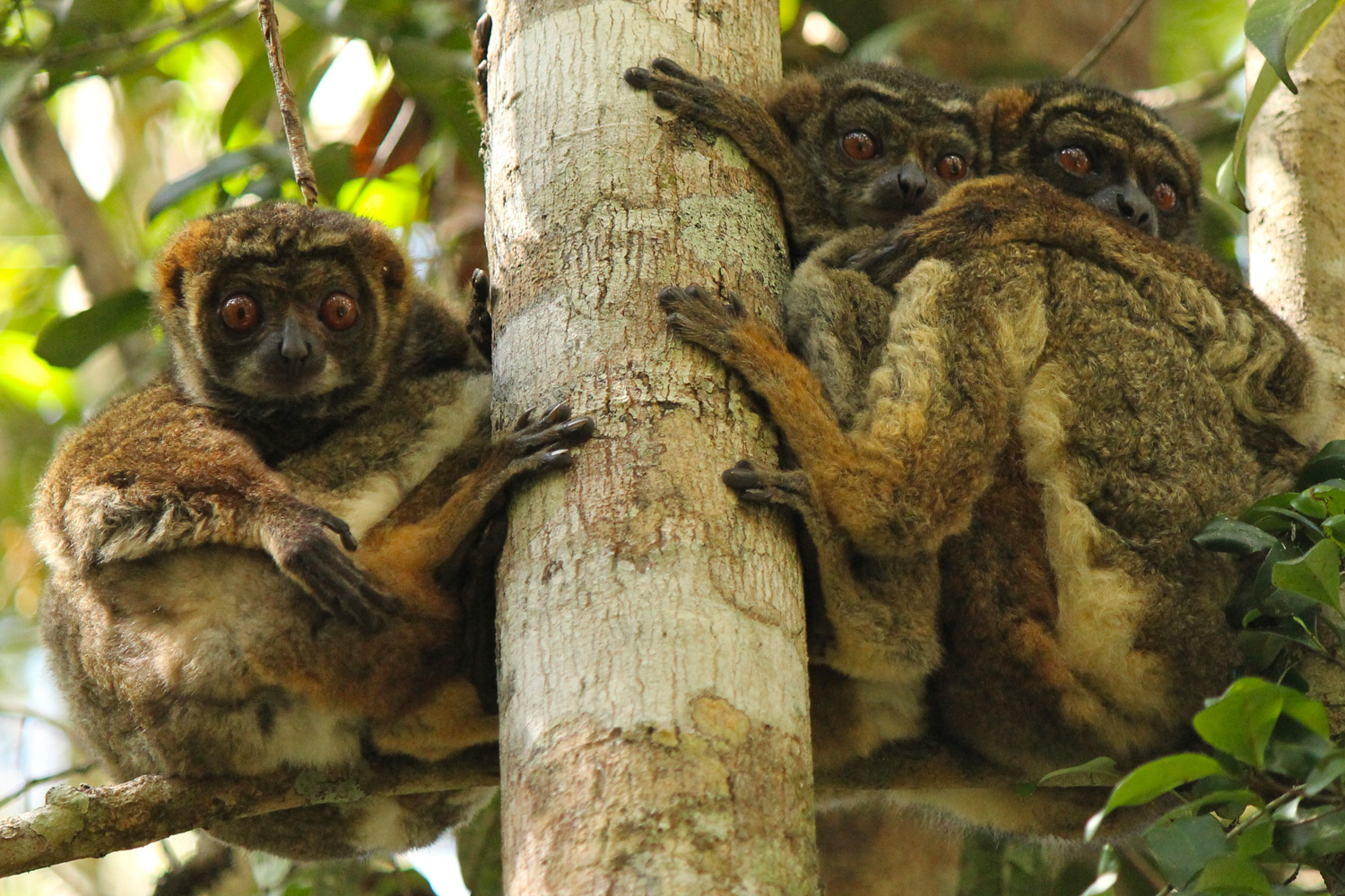 Three nocturnal eastern woolly lemurs sleeping in a tree in Andasibe National Park.