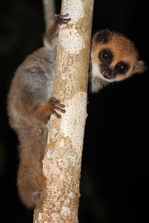 Fat-tailed dwarf lemur in Mitsinjo Reserve.