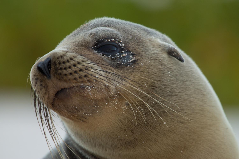 Sea lion on Cerro Brujo Island.