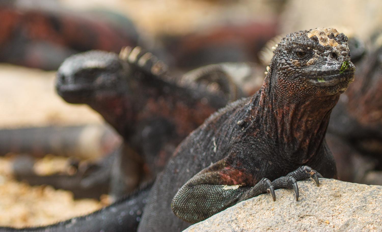 Marine iguanas piled up on the beach at Punta Suarez on Espanola Island.