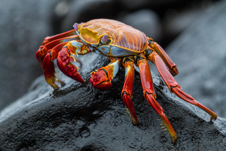 Sally Lightfoot crab.