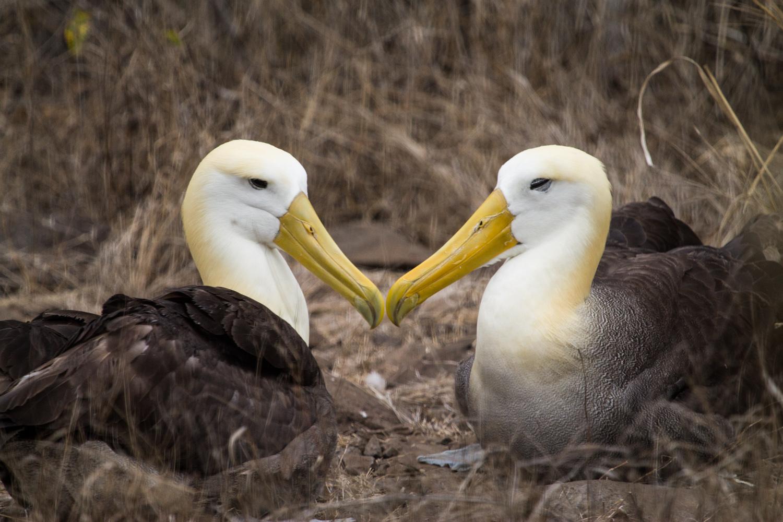 Waved Albatrosses on Espanola Island.