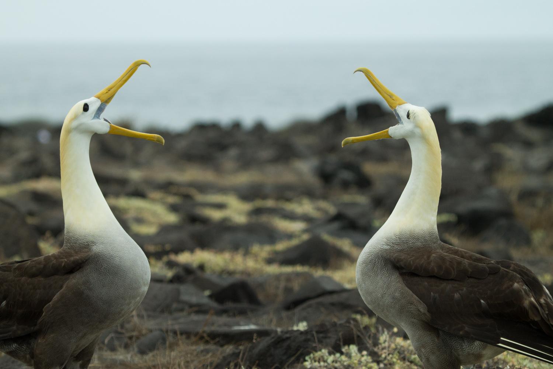 Waved Albatross mating dance on Espanola Island.