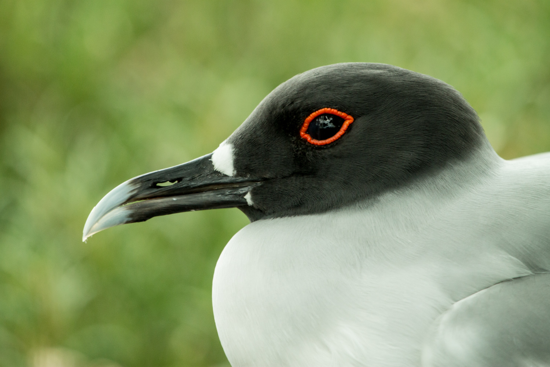 Galapagos gull on South Plaza Island.