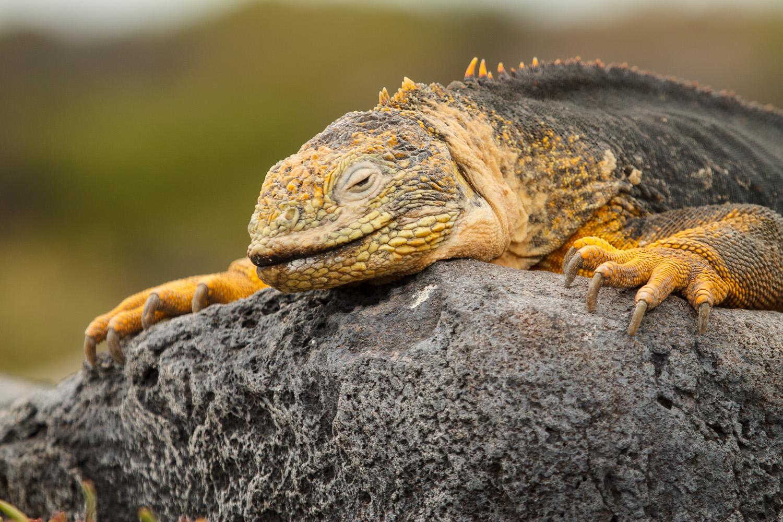 Land iguana on South Plaza Island.