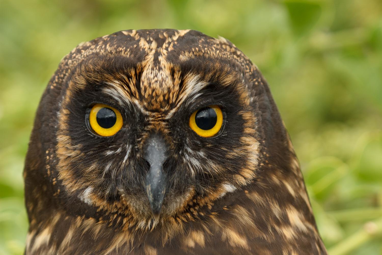 Short-eared owl on Santa Fe Island.