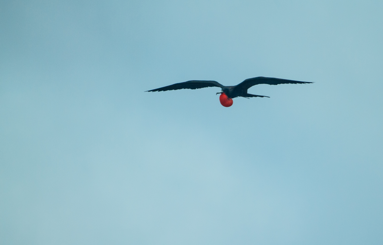 Magnificent frigatebird.