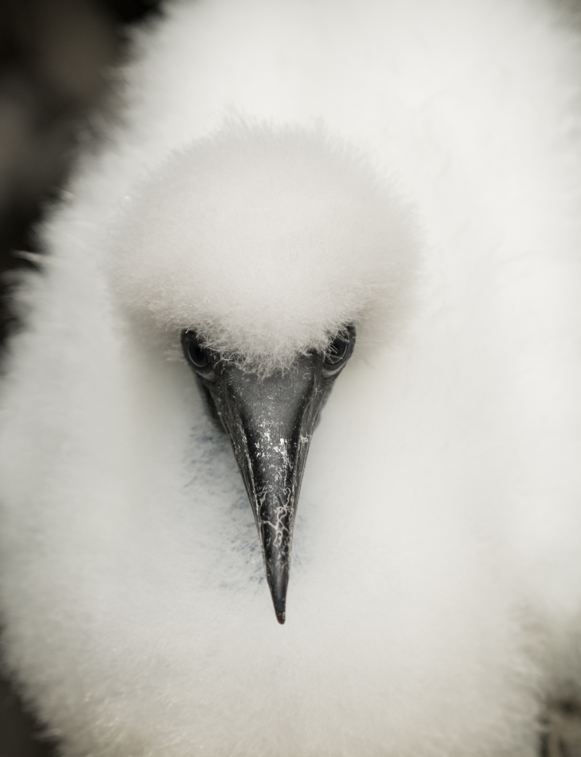 Baby red-footed booby.