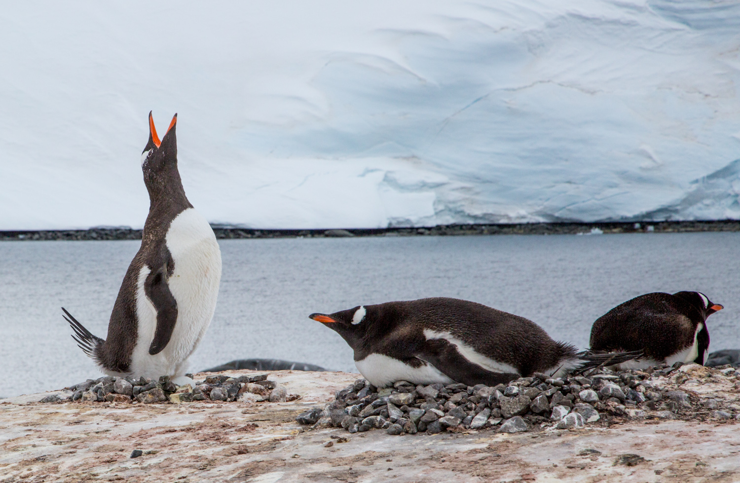 Gentoo penguins with eggs in their rock nests at Port Lockroy, Goudier Island.
