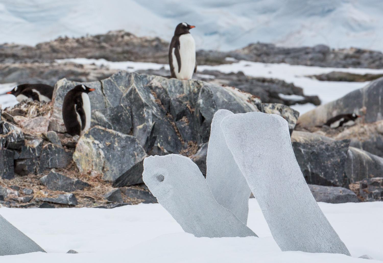 Gentoo penguins and whale bones at Jougla Point.
