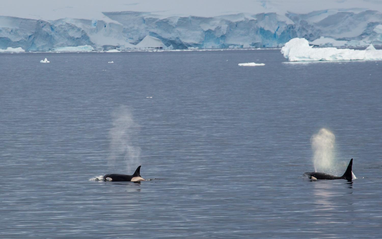 Killer whales in the Gerlache Strait.