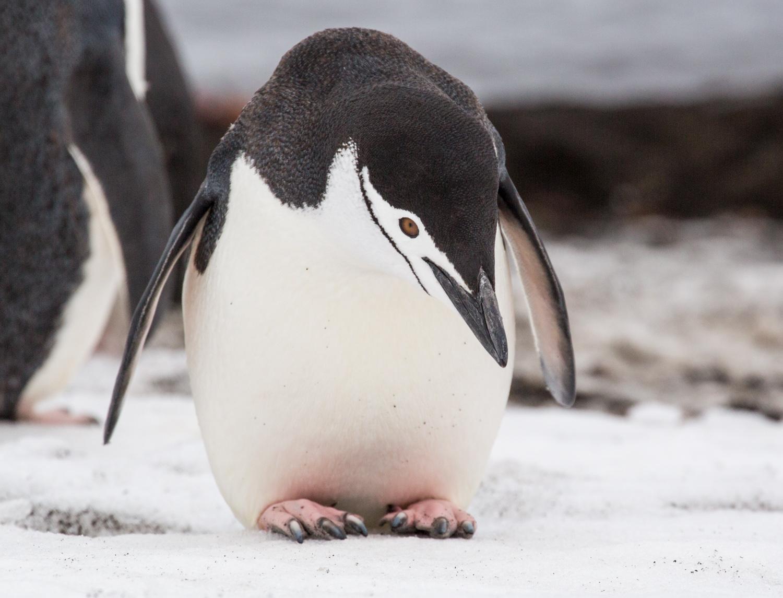 Chinstrap penguin at Telefon Bay.
