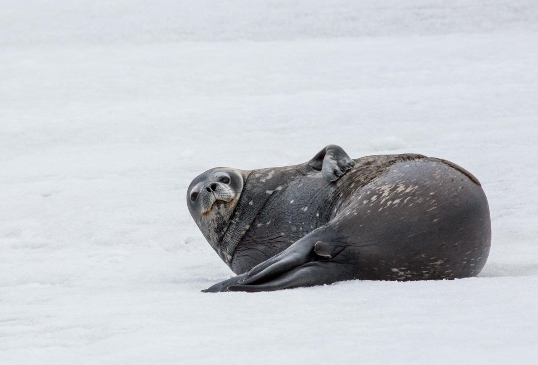 Weddell seal at Telefon Bay, Deception Island, South Shetland Islands.