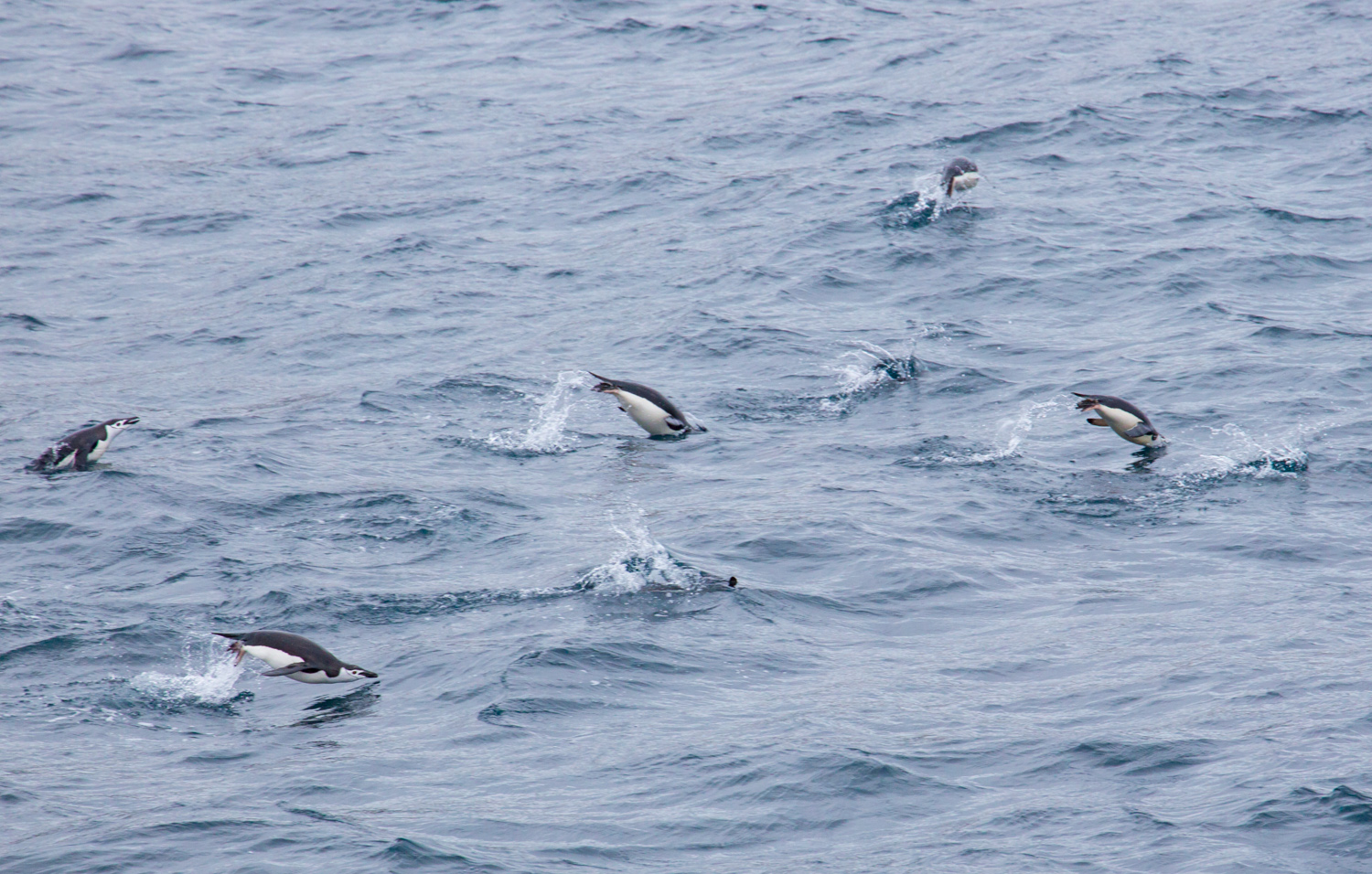 Chinstrap penguins swimming in the Bransfield Strait, near the South Shetland Islands.