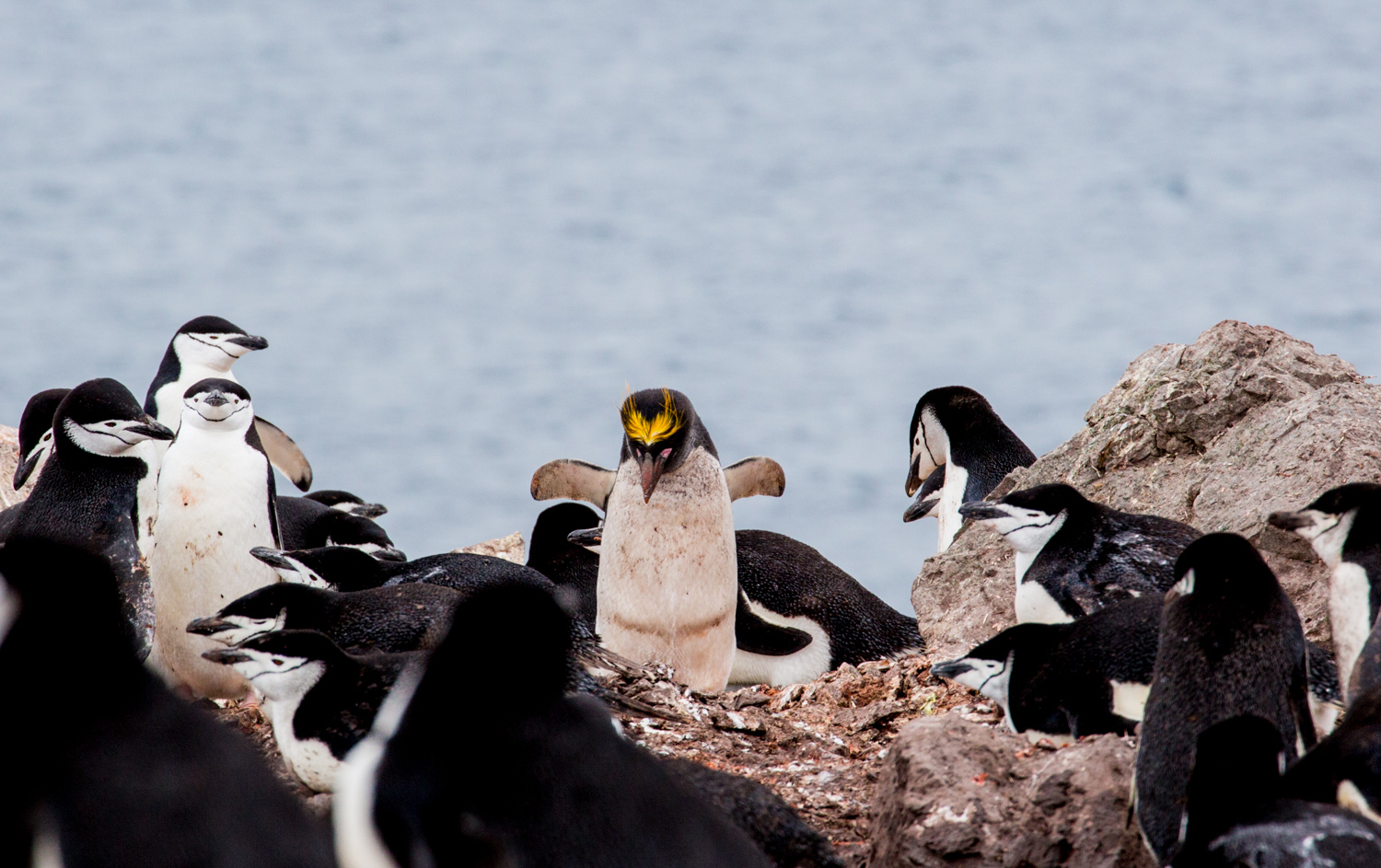 The chinstrap penguin colony on Half Moon Island has a single macaroni penguin. He comes back almost every year.