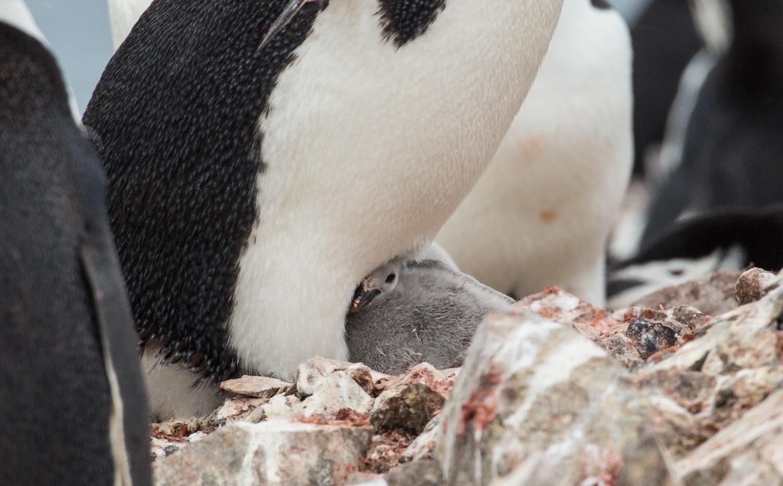 Baby chinstrap penguin, Half Moon Island.